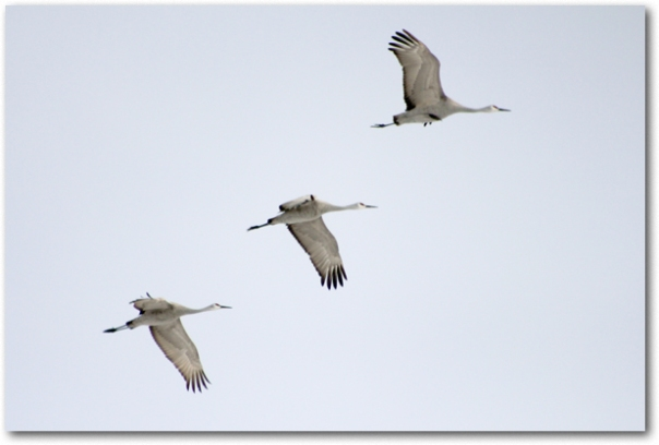 Three geese flying south