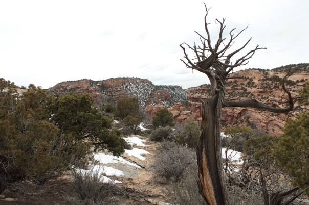 Old Tree on Clark's Bench above Bangs Canyon