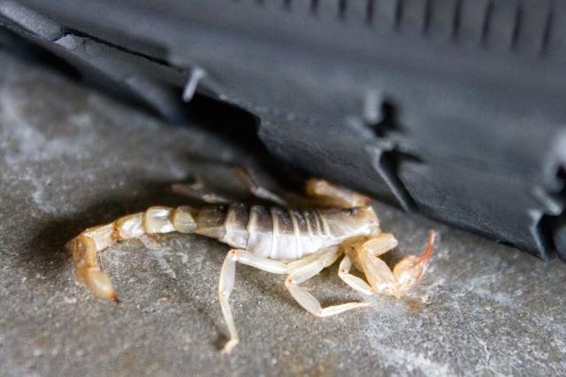 Scorpion Under Wheel
