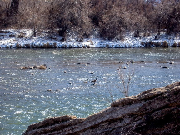 Geese on the Gunnison, March 2012